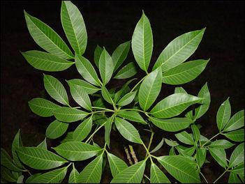 20120531-Rubber_tree_leaves.JPG