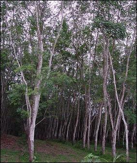 20120531-Rubber_tree_plantation.JPG