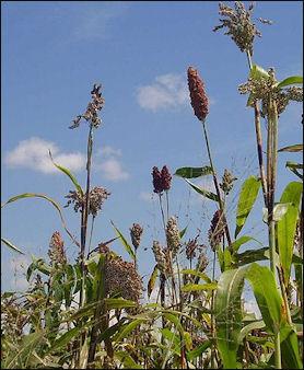 20120531-Sorghum_harvest.jpg