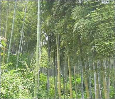 20120601-450px-Anji_bamboo_forest.jpg